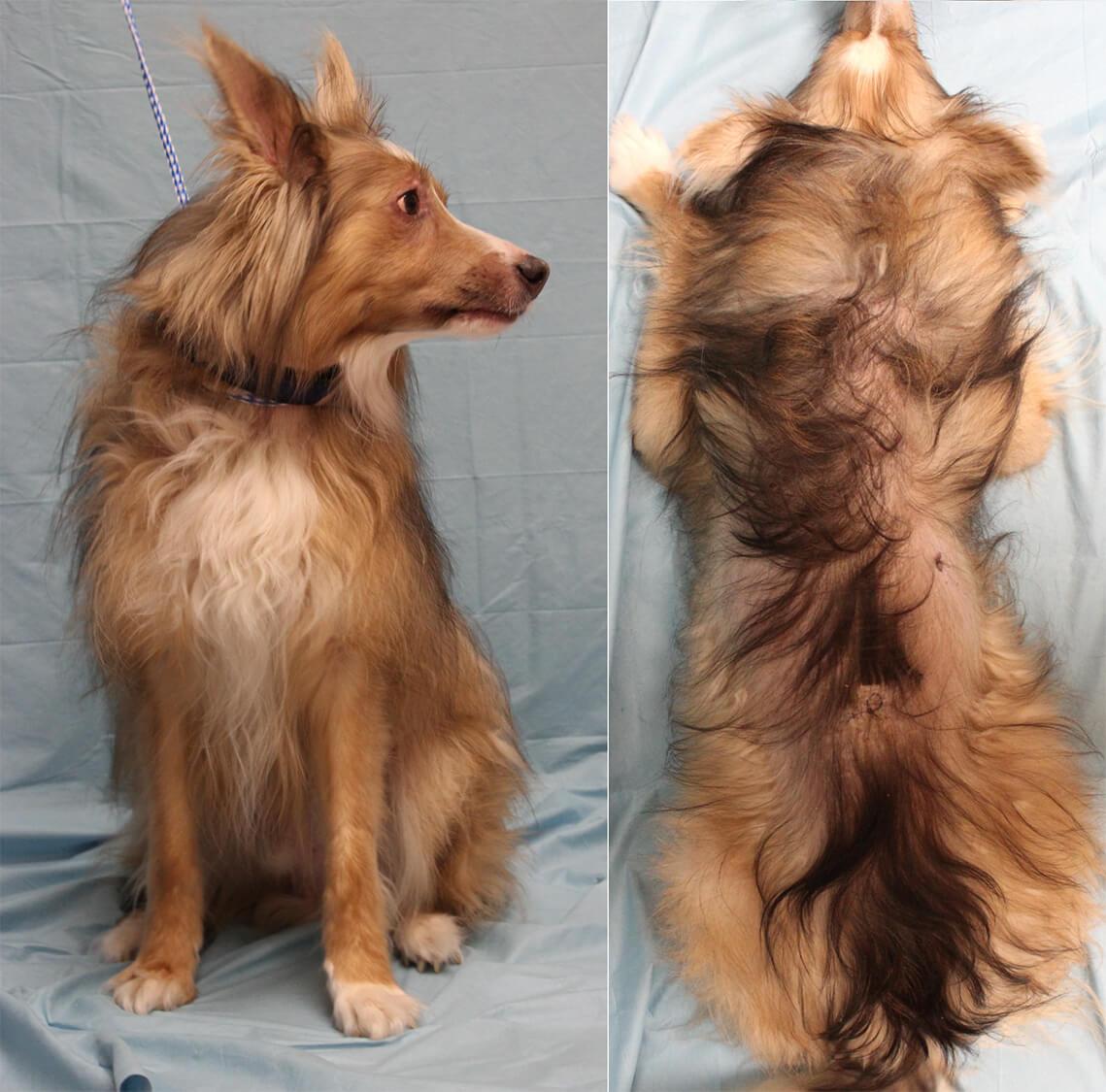 dosis prednisona perro