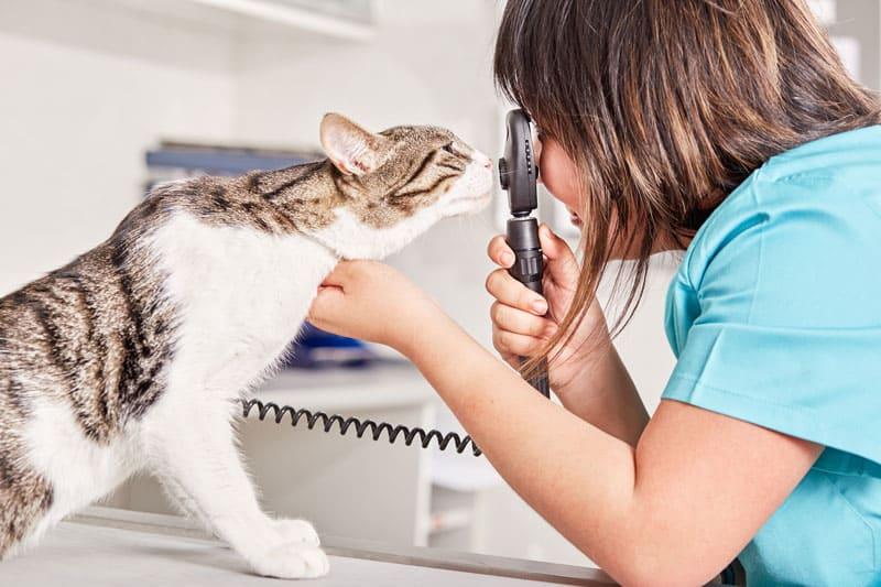 glaucoma-gato