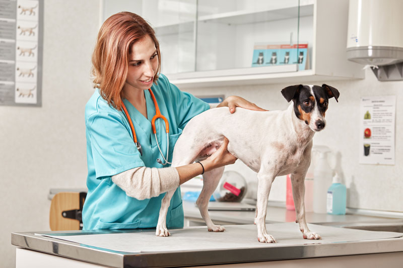 rickettsia en perros