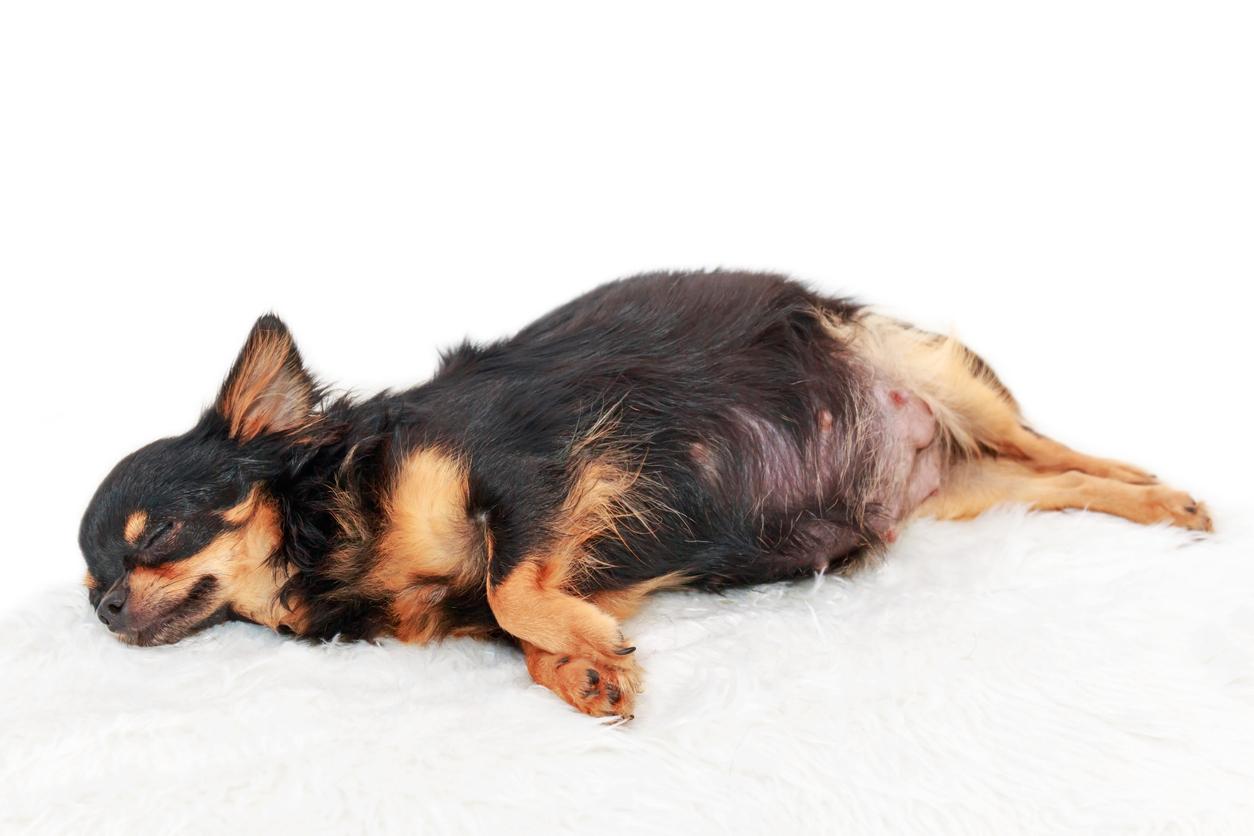 pseudogestación canina