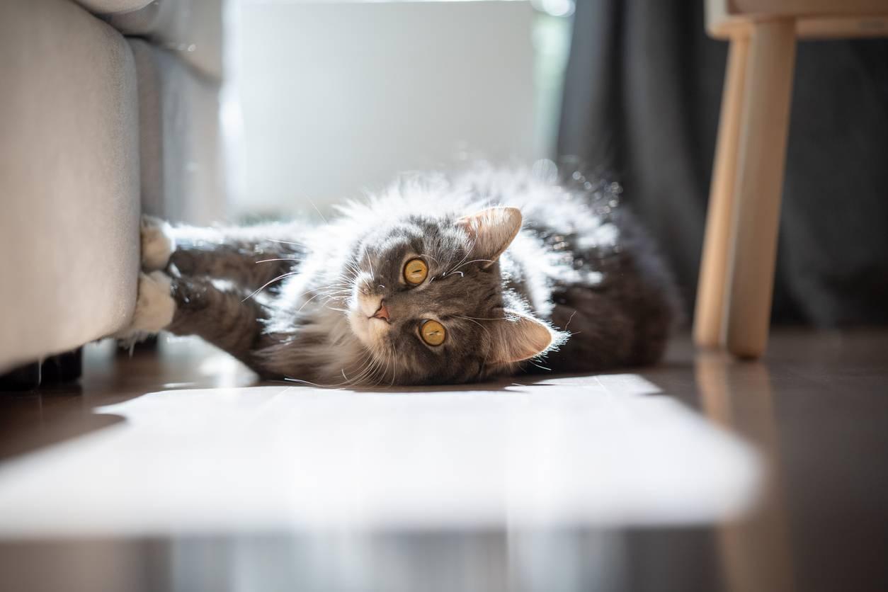 infeccion de orina en gatos