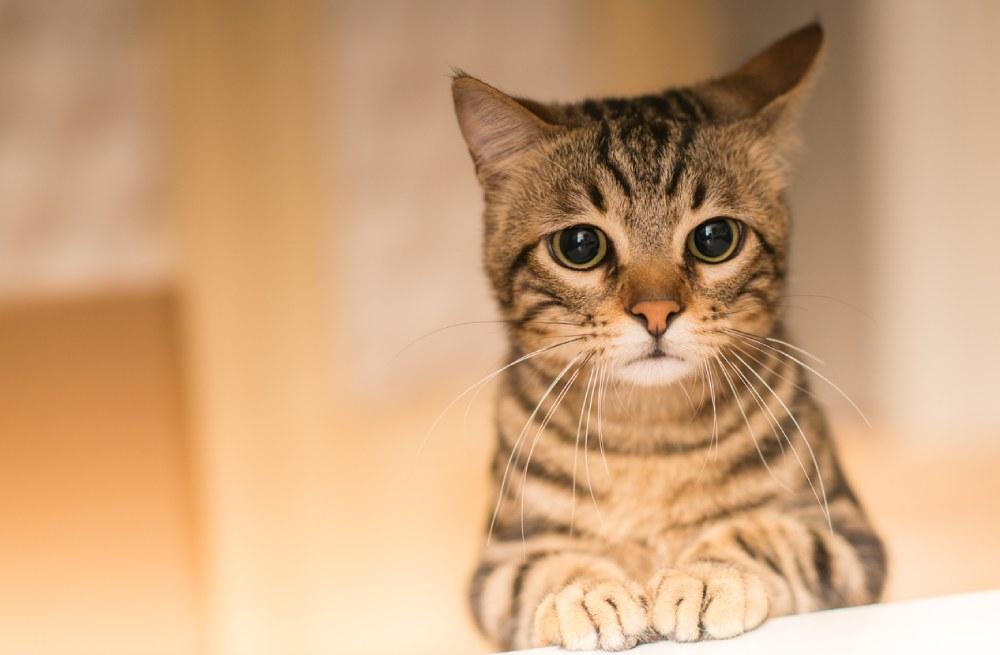 leucemia nos gatos