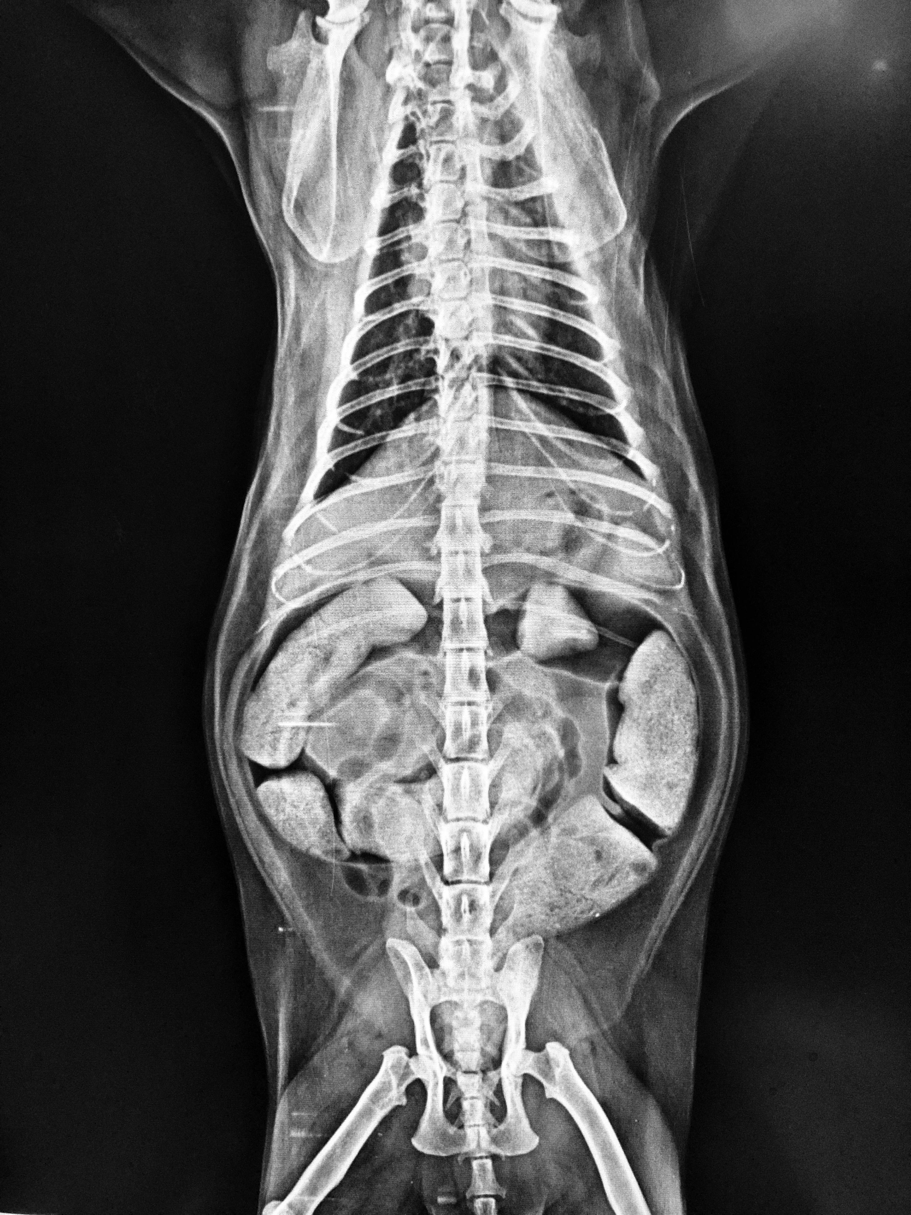 obstrução intestinal gatos