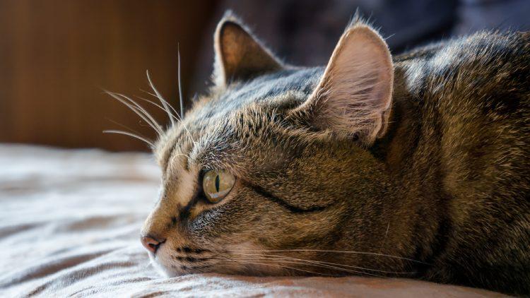 sarna gatos
